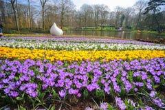Campo de flores do açafrão Fotografia de Stock