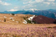 Campo de flores do açafrão na grama Foto de Stock Royalty Free