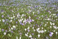 Campo de flores do açafrão, Tewkesbury, Inglaterra Fotografia de Stock