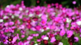 Campo de flores do cosmos video estoque