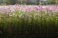 Campo de flores do cosmos Imagens de Stock