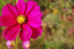 Campo de flores do cosmos no campo Nakornratchasrima Tailândia Foto de Stock Royalty Free