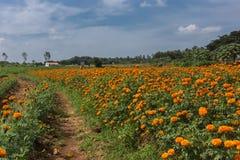 Campo de flores do cravo-de-defunto em Ranganathapur, Índia Imagem de Stock Royalty Free