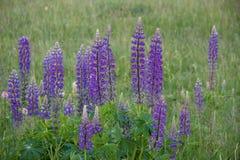 Campo de flores do lupine - imagem conservada em estoque Fotos de Stock Royalty Free