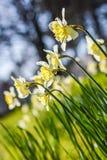 Campo de flores do narciso Imagens de Stock Royalty Free