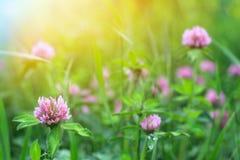 Campo de flores do trevo foto de stock royalty free
