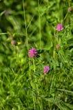 Campo de flores do trevo foto de stock