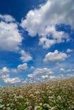 Campo de flores do trigo mourisco imagens de stock royalty free