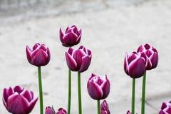 Campo de flores do Tulip foto de stock