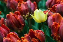 Campo de flores do Tulip imagens de stock royalty free