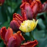 Campo de flores do Tulip fotos de stock