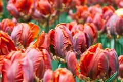 Campo de flores do Tulip imagens de stock