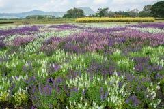 Campo de flores en Boon Rawd Farm, Tailandia Fotografía de archivo