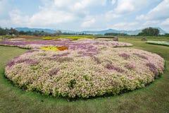 Campo de flores en Boon Rawd Farm, Tailandia Fotos de archivo libres de regalías