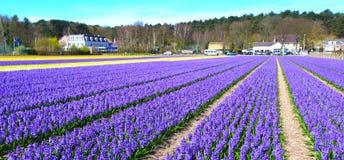 Campo de flores en Holanda fotografía de archivo libre de regalías