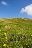 Campo de flores en la manera al top de Mt Mirnock 2 el 110m Imágenes de archivo libres de regalías