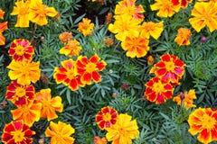 Campo de flores de florescência do cravo-de-defunto, as alaranjadas e as amarelas com verde Fotografia de Stock Royalty Free