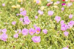 Campo de flores hermoso de Pusley Fotografía de archivo libre de regalías
