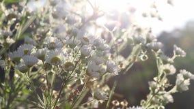 Campo de flores de la margarita blanca que se mueve por el viento en luz del sol de la mañana