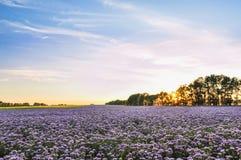 Campo de flores púrpura en la puesta del sol Plantación de Phacelia Plantas de miel Paisaje natural del campo hermoso Fotos de archivo