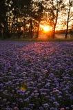 Campo de flores púrpura en la puesta del sol Plantación de Phacelia Plantas de miel Paisaje natural del campo hermoso Foto de archivo libre de regalías