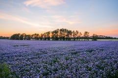 Campo de flores púrpura en la puesta del sol Plantación de Phacelia Plantas de miel Paisaje natural del campo hermoso Foto de archivo