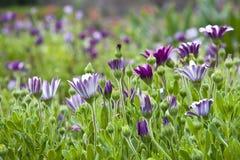 Campo de flores púrpuras Foto de archivo libre de regalías