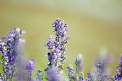 Campo de flores púrpuras Fotos de archivo libres de regalías