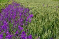 Campo de flores púrpuras al lado del grano fotografía de archivo
