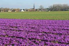 Campo de flores púrpuras en Holanda Fotos de archivo libres de regalías
