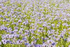 Campo de flores púrpuras y del follaje verde Imagen de archivo libre de regalías