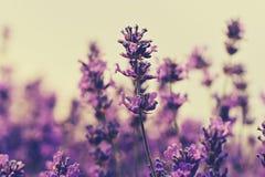 Campo de flores perfumado de la lavanda debajo del cielo azul foto de archivo