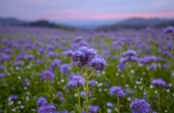 Campo de flores de Phacelia y fondo púrpura del cielo de la puesta del sol Fotografía de archivo