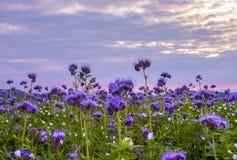 Campo de flores de Phacelia y fondo púrpura del cielo de la puesta del sol Imagenes de archivo