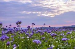 Campo de flores de Phacelia y fondo púrpura del cielo de la puesta del sol Foto de archivo libre de regalías