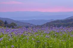 Campo de flores de Phacelia y fondo púrpura del cielo de la puesta del sol Fotos de archivo libres de regalías