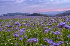 Campo de flores de Phacelia y fondo púrpura del cielo de la puesta del sol Foto de archivo