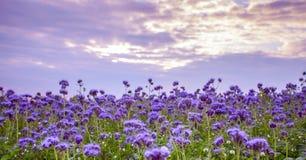 Campo de flores de Phacelia y fondo púrpura del cielo de la puesta del sol Imagen de archivo libre de regalías