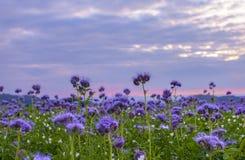 Campo de flores de Phacelia y fondo púrpura del cielo de la puesta del sol Fotografía de archivo libre de regalías