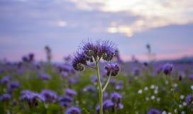 Campo de flores de Phacelia y fondo púrpura del cielo de la puesta del sol Fotos de archivo