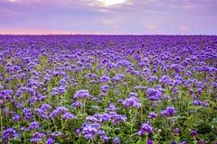 Campo de flores de Phacelia y fondo púrpura del cielo de la puesta del sol Imagen de archivo