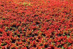 Campo de flores rojas Imágenes de archivo libres de regalías