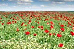 Campo de flores rojo de la amapola Imagenes de archivo