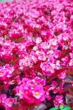 Campo de flores rosado de la begonia Fotos de archivo