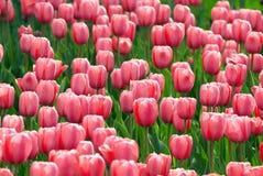 Campo de flores rosado del tulipán fotografía de archivo libre de regalías