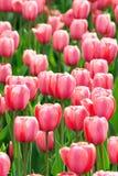 Campo de flores rosado del tulipán Imagen de archivo libre de regalías