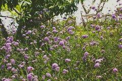 Campo de flores roxas Imagem de Stock Royalty Free