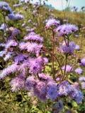 Campo de flores roxas fotografia de stock