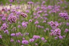 Campo de flores roxas foto de stock
