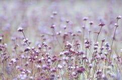 Campo de flores roxo Foto de Stock